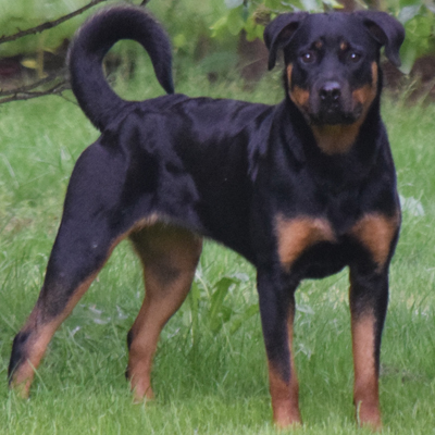 Adult Rottweiler for Sale