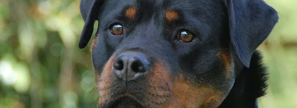 German Import Rottweiler